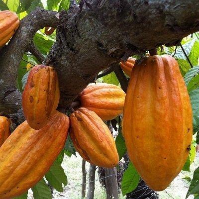 Qué tanto sabes sobre el cacao y dónde se produce