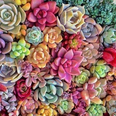 Las suculentas son las plantas que viven en zonas donde llueve con muy poca frecuencia.